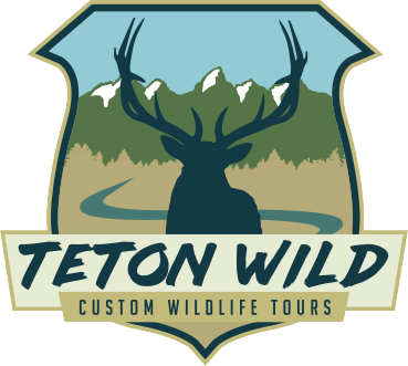 Teton Wild Custom Jackson Hole Wildlife Tours
